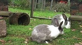 Rabbits_do_not_recognize_themselves_in_mirror