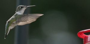 hummingbird_hovering