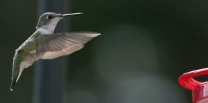 hummingbird_hovering