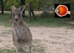 kangaroo_approaches_camera