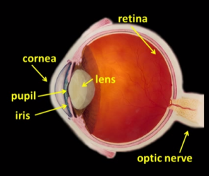 labelled_diagram_of_eye