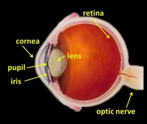labelled_diagram_of_eye