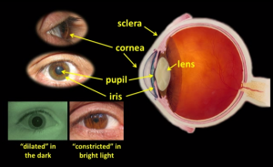 labelled_eye_diagram_courtesy_national_eye_institute
